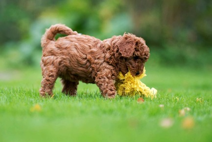 Press kit | 2438-01 - Press release | Swiss Start-Up Embellishes the Lives of Dogs and Owners - Volentis GmbH - Product - IDA Silver Award Winner - LABONI DOG TOYS - Photo credit: Volentis GmbH<br>